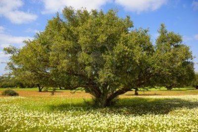植物由来アルガンツリーの芽